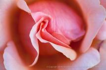 First_Shot-_Pink_Rose,_10.3.14
