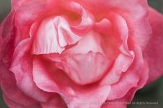 First_Shot-_Pink_Rose,_2.2.15