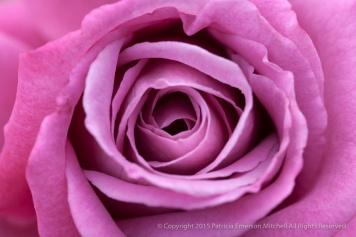 First_Shot-_Pink_Rose,_8.6.15