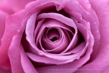 First_Shot-_Pink_Rose,_8.6.15
