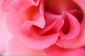 First_Shot-_Pink_Rose,_9.19.14