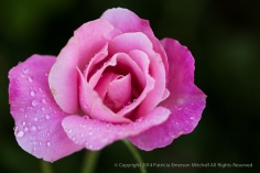 First_Shot-_Pink_Rose_&_Waterdrops