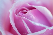 First_Shot-_Pink_Rose_and_Dewdrops,_1.13.15