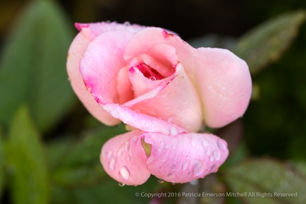 First Shot: Pink Rose and Raindrops, 10.17.16