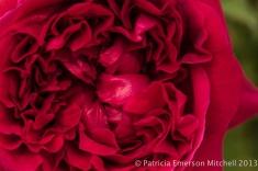 First_Shot-_Red_Rose
