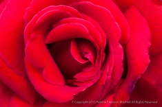 First_Shot-_Red_Rose,_10.14.15