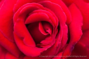 First_Shot-_Red_Rose,_10.14.15