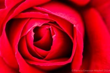 First_Shot-_Red_Rose,_3.29.14