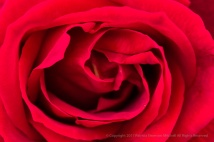 First_Shot-_Red_Rose,_4.10.17