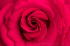 First Shot: Rose, 10.2.18