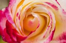 First_Shot-_Rose,_11.12.13