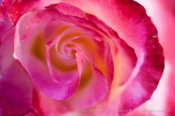 First_Shot-_Rose,_3.31.15