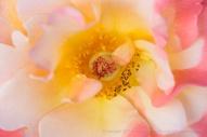 First Shot: Rose, 5.1.17