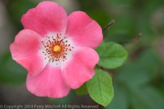 First_Shot-_Small_Pink_Rose,_9.22.14
