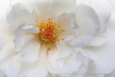 First_Shot-_Sugar_Moon_Rose,_9.24.15
