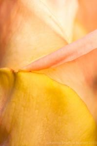 First_Shot-_Tri-Color_Rose,_12.4.13