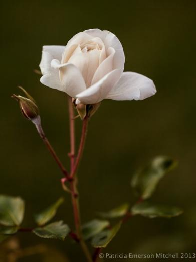 First_Shot-_White_Rose_in_December