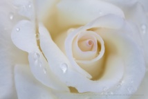 First_Shot-_White_Rose_with_Water_Drops,_7.19.17