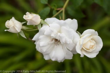 First_Shot-_White_Roses_in_Rain,_9.18.14
