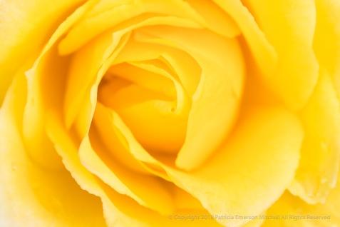 First Shot: Yellow Rose, 1.11.18