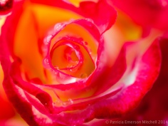 First_Shot,_Rose,_4.9.14
