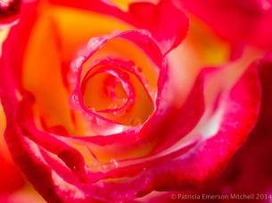 First_Shot,_Rose,_4.9.14