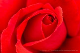 Fragrant Cloud Rose, 6.12.17