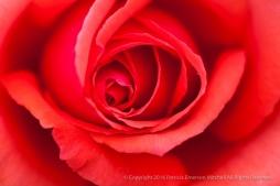Fragrant Cloud Rose (II), 10.19.15