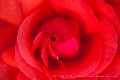 Fragrant Cloud Rose (I), 10.19.15