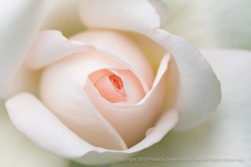 Francis_Meilland_Rose_(III),_7.13.15