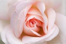Francis_Meilland_Rose_(II),_7.13.15.jpg