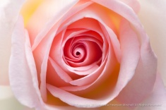 Francis_Meilland_Rose_(I),_7.13.15.jpg