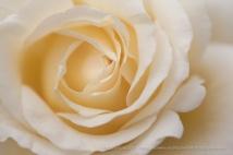 Frederic_Chopin_Rose_(I),_5.5.14
