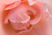 Fritz Nobis Rose, 4.25.16