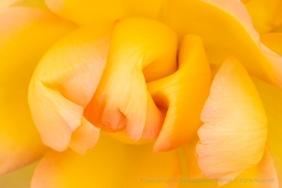 Gold Struck Rose, 10.29.18