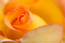 Gold_Struck_Rose,_4.20.15