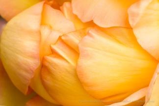 Gold Struck Rose, 6.12.17