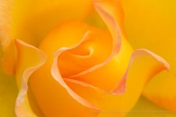 Gold Struck Rose (I), 7.12.17