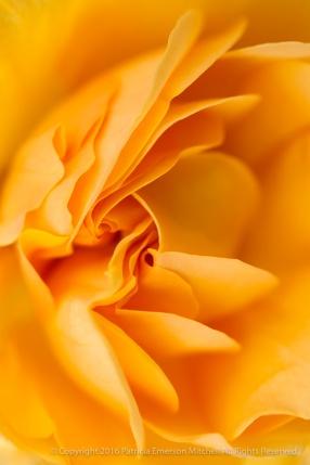 Golden Petals, 10.14.15