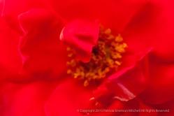 Gruss_An_Berlin_Rose,_7.14.15