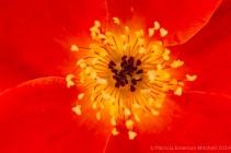 Heritage_Rose_Garden-_Austrian_Copper,_4.23.14