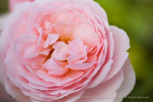 Heritage_Rose_Garden-_BigLightPinkDoubleCupped,_5,5,14