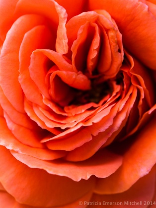 Heritage_Rose_Garden-_Cimarosa,_5.9.14