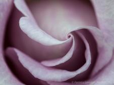 Heritage_Rose_Garden-_Cologne,_5.5.14