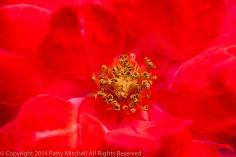 Heritage_Rose_Garden-_Dragon's_Blood,_9.15.14