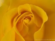 Heritage_Rose_Garden-_Golden_Glow,_4.28.14