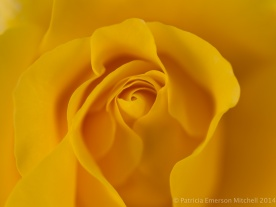Heritage_Rose_Garden-_Golden_Glow,_4.28.14