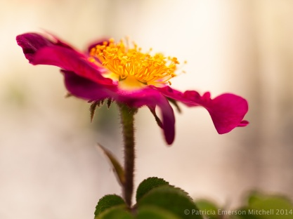 Heritage_Rose_Garden-_Hot_Pink_&_Yellow,_4.30.14