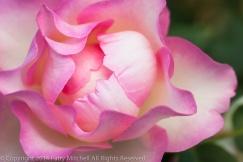 Heritage_Rose_Garden-_Hula_Hoop,_9.15.14