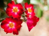 Heritage_Rose_Garden-_Kleine_Dortmunderin,_4.30.14